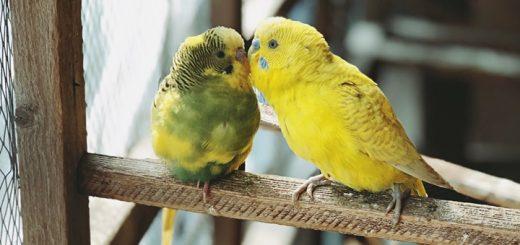 Parakeets Singing Ringtone