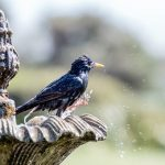 Starling Birds Ringtone
